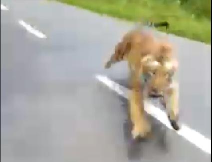 Tygrys zaatakował motocyklistów